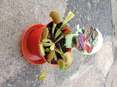 My son's Venus Fly Trap