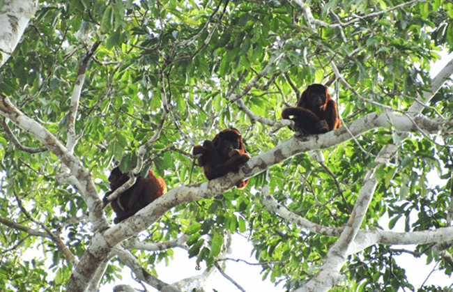 Three wise howler monkeys
